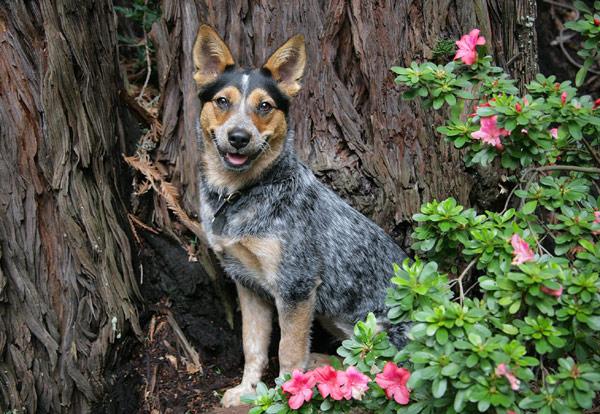 Австралийская пастушья собака, или австралийский хилер, фото породы собаки фотография картинка