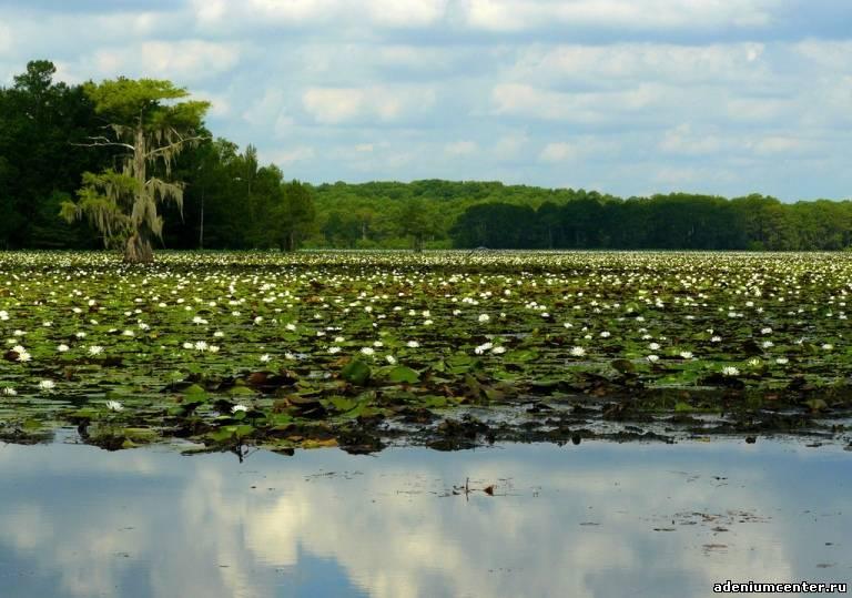 Озеро Каддо природа, озеро, красота, кипарисы