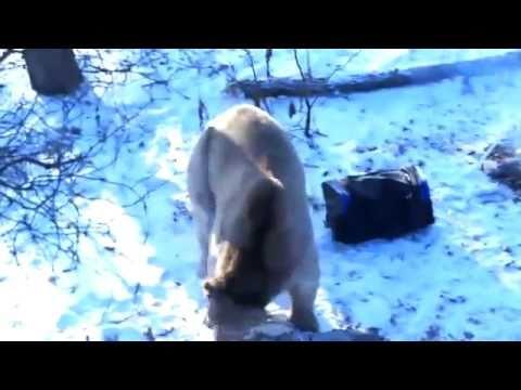 Медведь напал на рыбаков!.flv