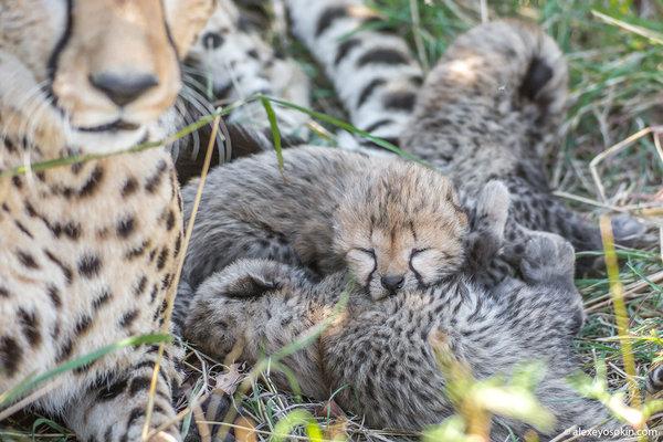 Это просто чудо и настоящий праздник - новорожденные гепарды из заповедника Масаи-Мара