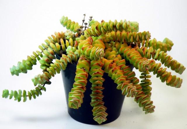 Толстянка скальная, или Крассула скальная (Crassula rupestris)