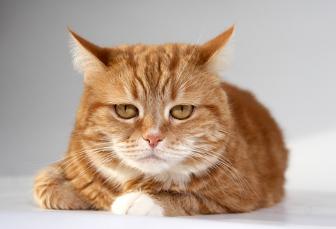 КОШКИН ДОМ. Окрасы кошек. Рыжая кошка