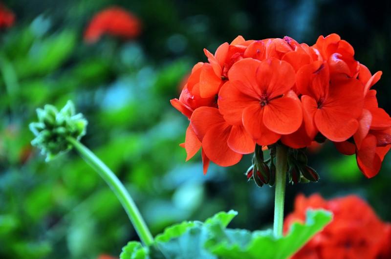 Как обеспечить пышное цветение герани и что делать с цветком зимой