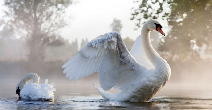 Что мы знаем о лебедях