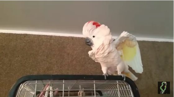 Возмущенный попугай закатил своему хозяину настоящую истерику — и стал звездой Сети!
