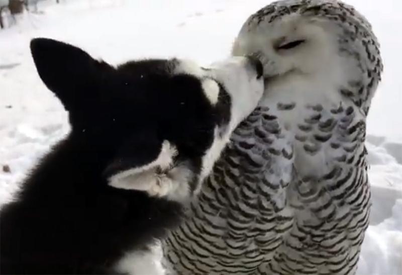 Щенок хаски подошла к полярной сове. То, что произошло дальше - поразило всех!