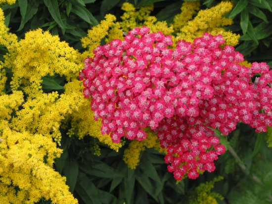 3c56cf7733.achillea-millefolium-rubin.jp