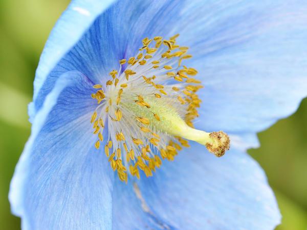 Цветок меконопсиса крупным планом
