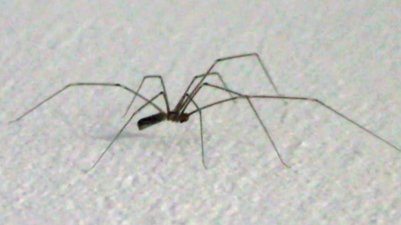 14. Из всех пауков самым сильный яд у пауков-долгоножек. Но они не могут прокусиьт кожу человека и поэтому неопасны. мифы, разрушители легенд, факты