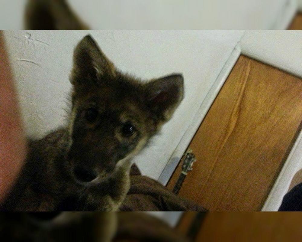 Парень нашёл на улице щенка и взял его себе. Пёс долго терроризировал соседей, и его отвезли в приют для собак, куда его не взял