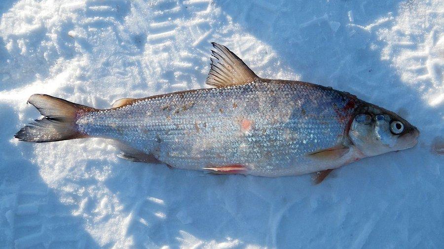 Знакомьтесь — рыба  сиг!