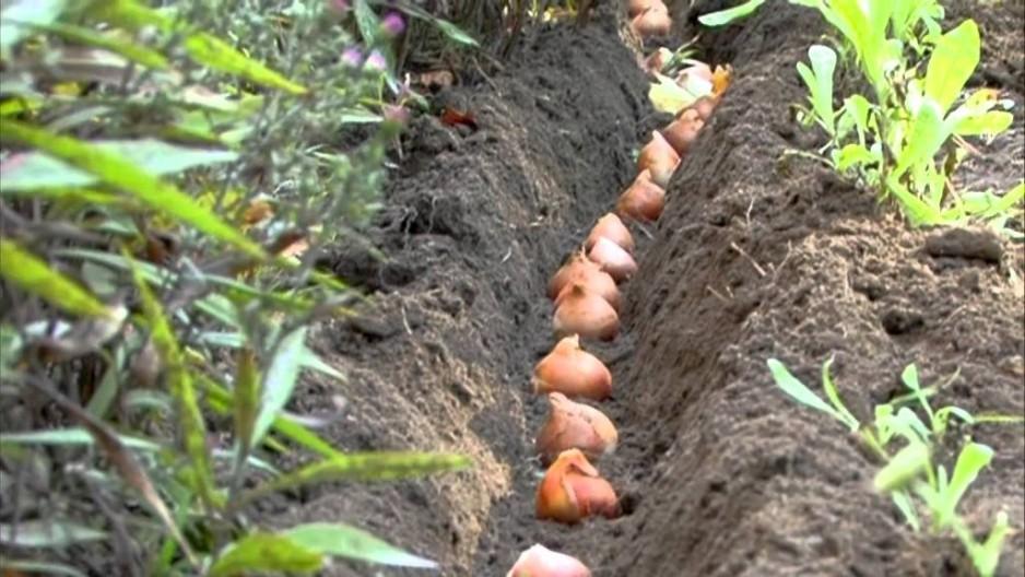 Тюльпаны осенью: как правильно сажать