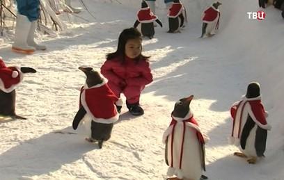 Переодетые в Санта-Клаусов пингвины растрогали посетителей зоопарка