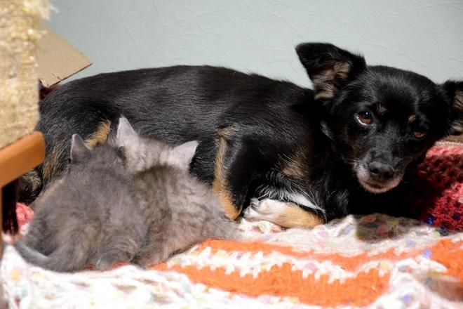 Двое спасенных котят нашли молочную няню в лице… стерилизованной собаки