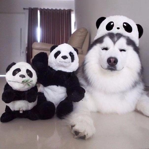 Это Мару — самый счастливый в мире хаски, который на самом деле чувствует себя пандой
