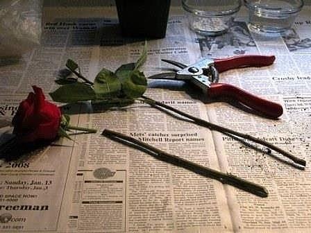 Супер-средство для проращивания роз