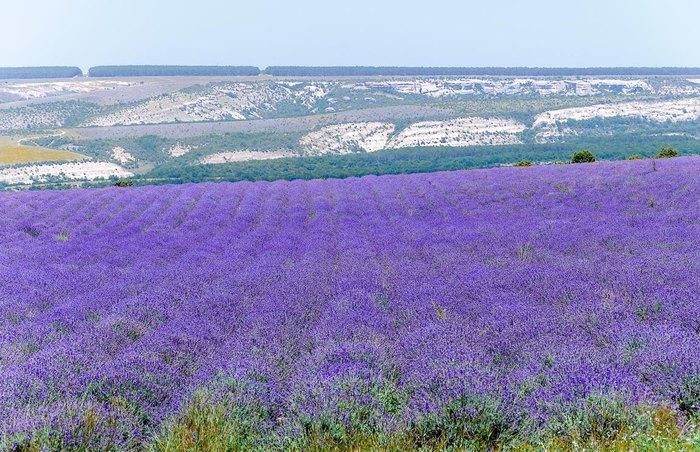 Лавандовые поля Крыма