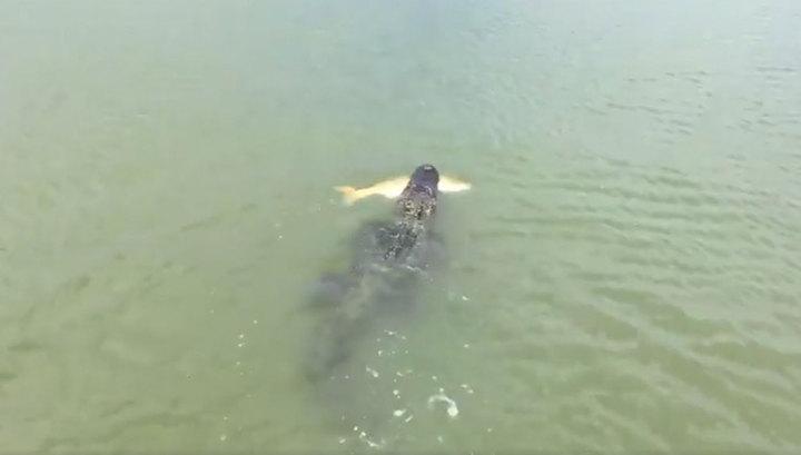 Ленивый аллигатор украл добычу у юного рыбака