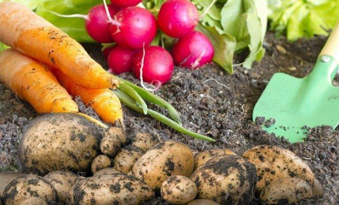 Смешанный посев овощей и посадка картофеля весной
