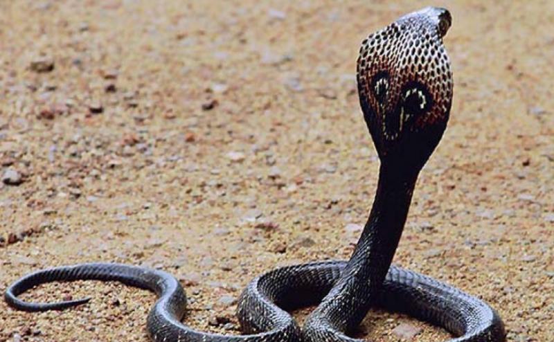 Из-за селфи с коброй умер подросток в Индии