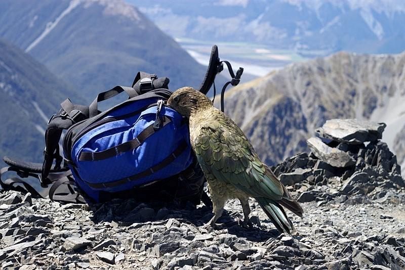 Кеа — потрясающе умные попугаи, которые любят снег и обыскивают рюкзаки туристов