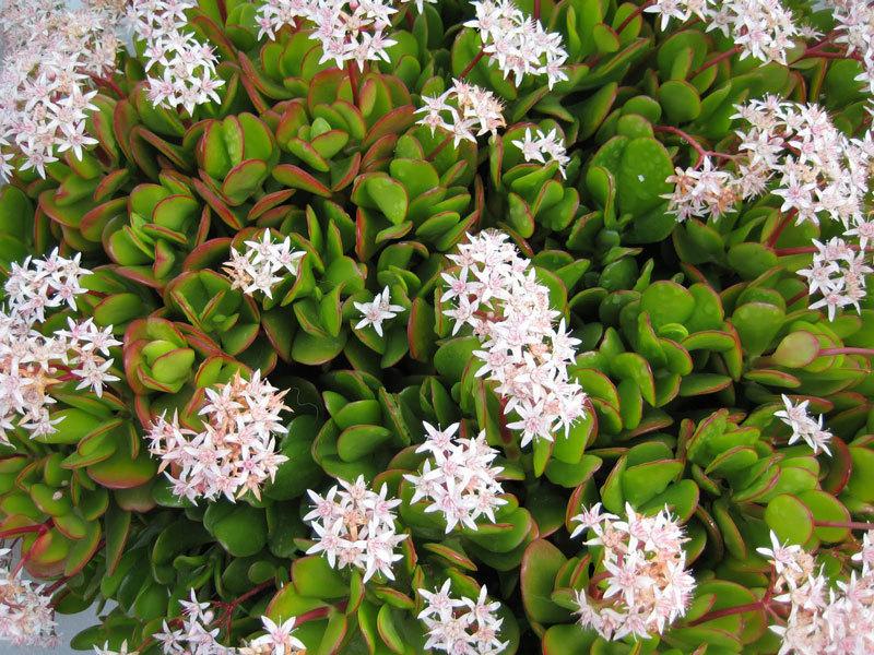 Расскрываем секрет:  Как добиться цветения денежного дерева