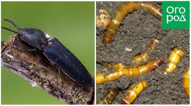 Жук-щелкун и его личинки (проволочники)