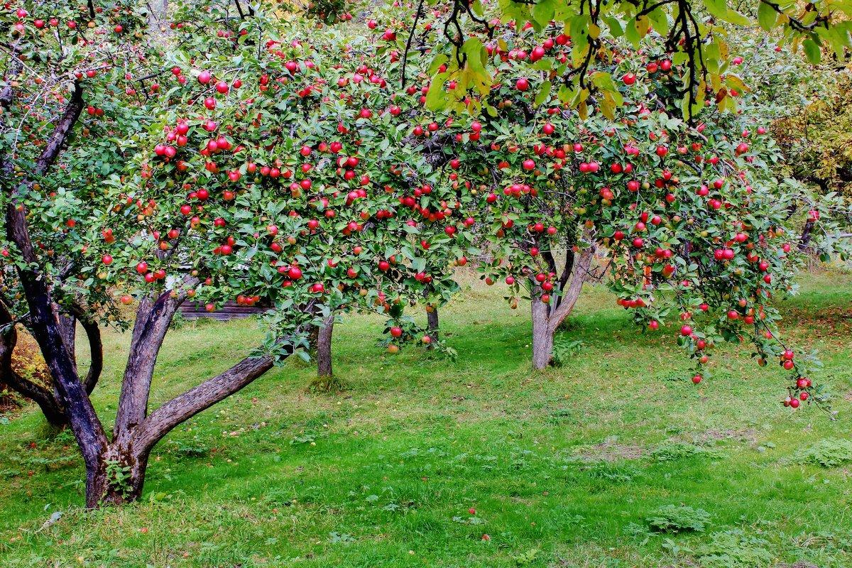 Картинки по запросу яблоневый сад