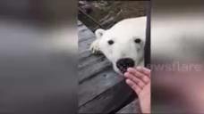 Любопытный белый медведь пришел в гости к русским