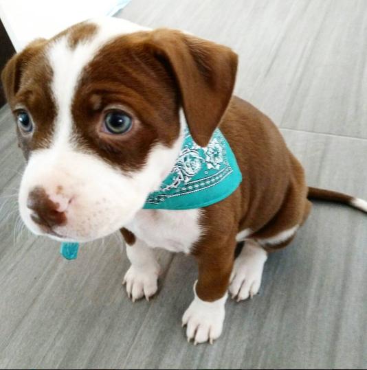 Он выбрал платочек, идеально гармонирующий с его глазами, чтобы отвлекать внимание домашний питомец, животные, милота, питбуль, причина, собака, щенки