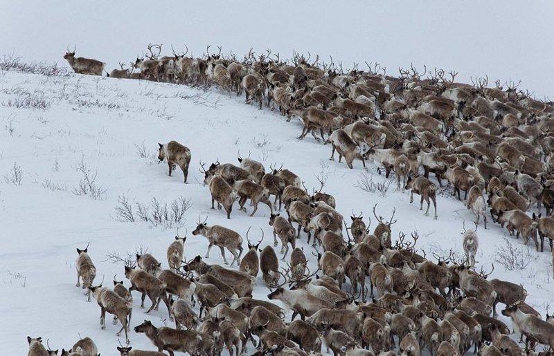 """Не все олени выдерживают весеннюю миграцию: одни просто не хотят присоединиться к стаду, другие - не в силах, так как ожидают потомство"""" животные, канада, миграция, мир, олень, природа, фотография"""
