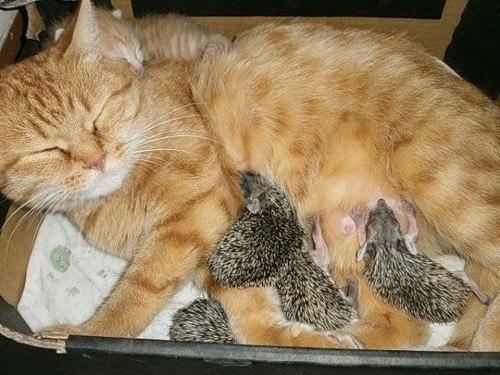 Кошка спасла ежат