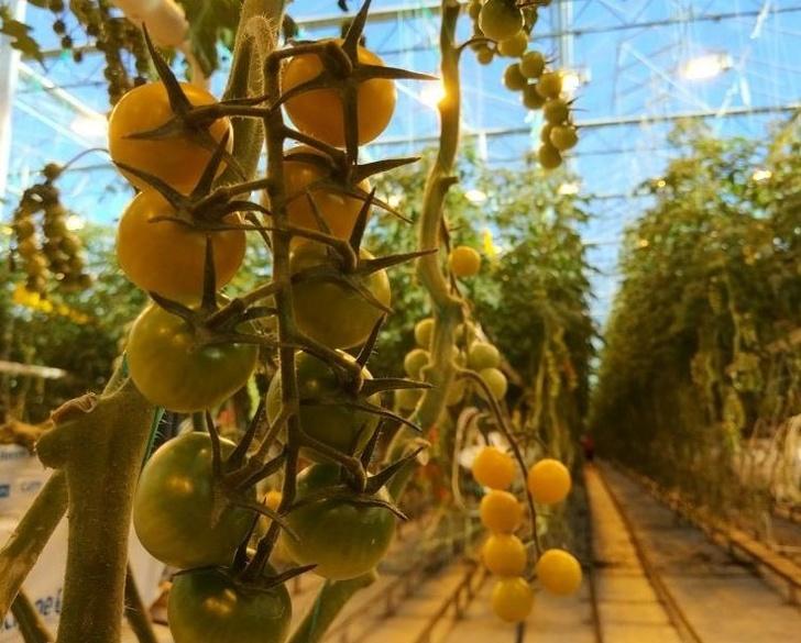 Агро-Инвест запустил 25 гектаров третьей очереди тепличного комплекса в Калужской области