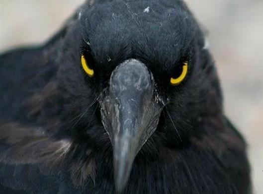 5 птиц, которые нападают на человека