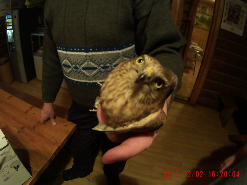 Свердловские орнитологи выхаживают ястреба, найденного в подъезде