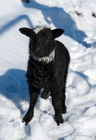 Онисим Овчарник