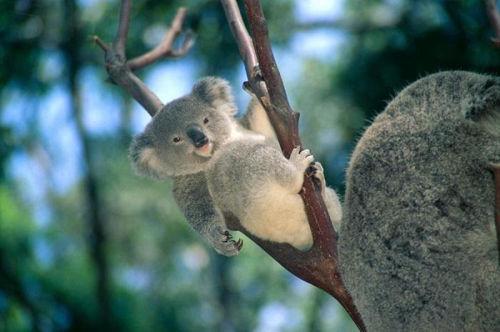 Детёныш коалы, который проживает в австралийском парке дикой природы.