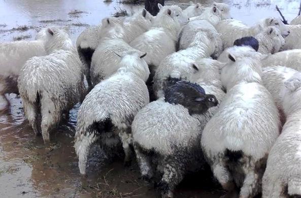В Новой Зеландии кролики спаслись от наводнения на овцах
