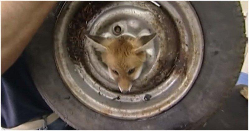 Спасение застрявшего в автомобильном колесе лисенка