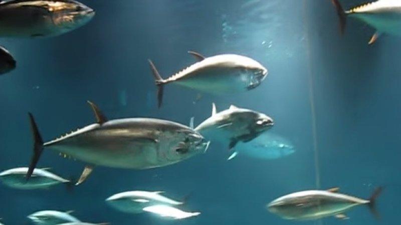 Japan News: США собрались увеличить свою квоту на вылов тунца, вопреки воле тихоокеанских государств