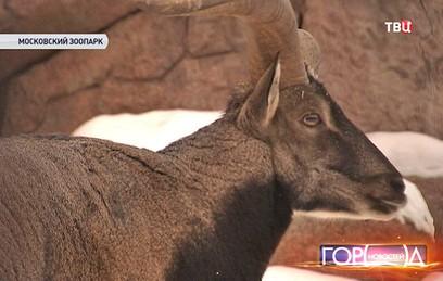 В Московском зоопарке поселился голубой баран