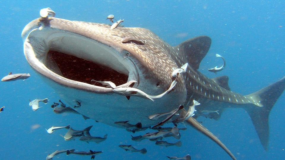 Названа самая большая акула-…