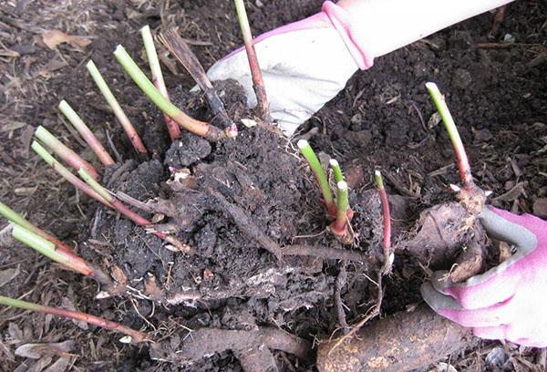 Обрезка хризантемы перед зимой