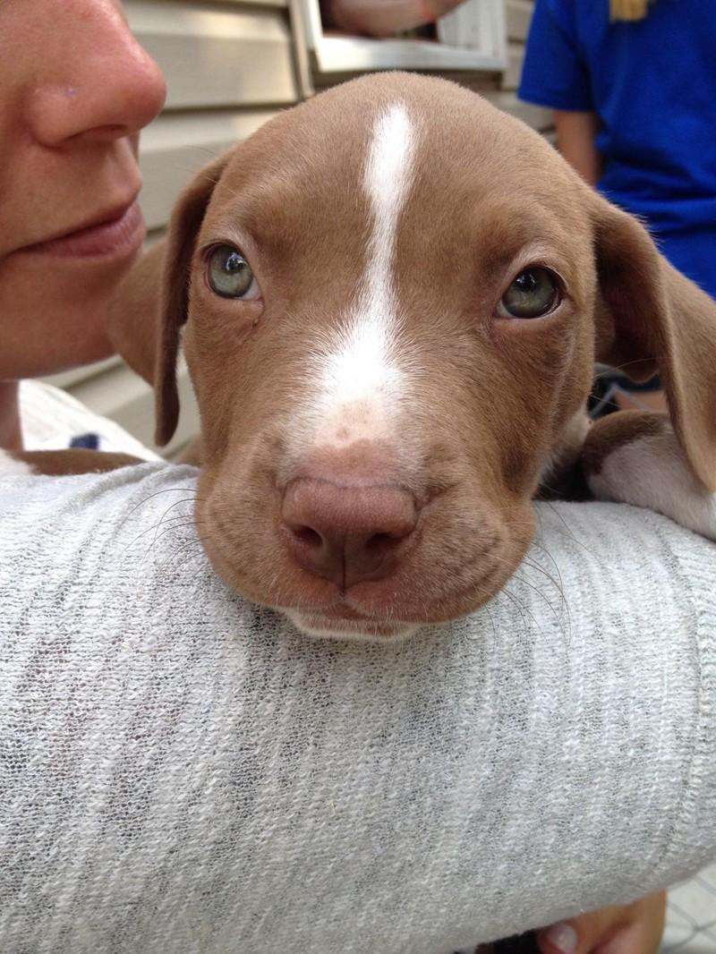 Эти милые глазки и носики пытаются отвлечь вас от того факта, что звери опасны! домашний питомец, животные, милота, питбуль, причина, собака, щенки