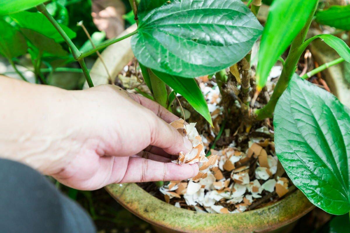 Лучшие способы использования яичной скорлупы для огорода