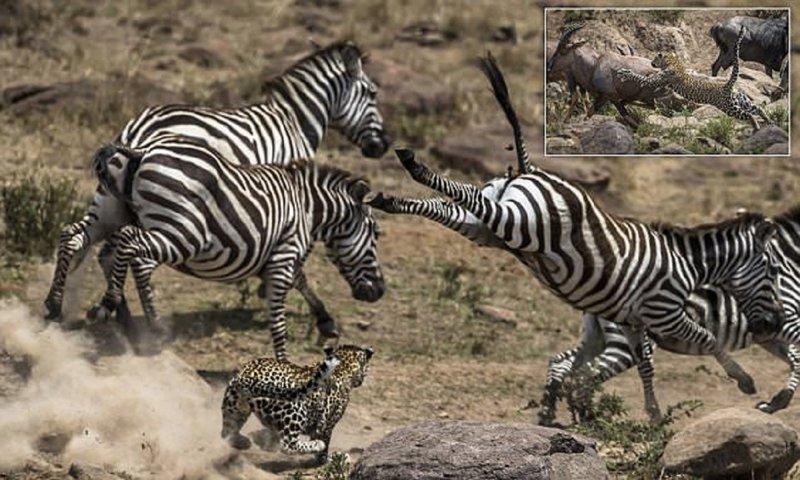 Уникальные снимки неудачной охоты леопарда