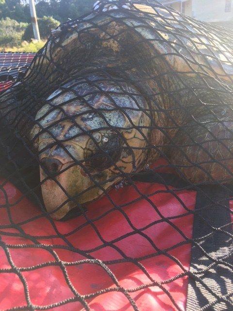 Рыбак увидел необычную черепаху в воде, а когда рассмотрел поближе, то решил позвать на помощь