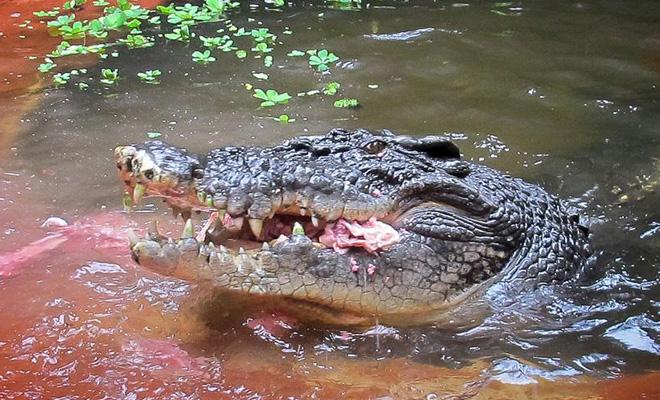 Гигантский крокодил проглотил оленя и напал на охотников