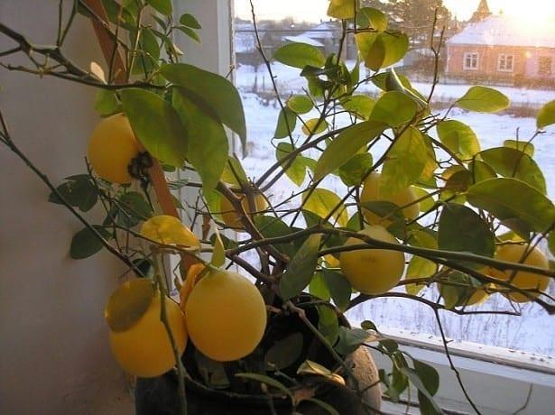 Лимон сбрасывает листья — чт…