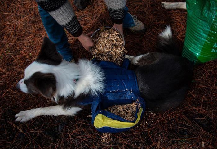 Как собаки помогают восстанавливать чилийские леса